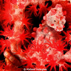   Bargibanti Pygmy seahorse sea fan Komodo Indonesia. Indonesia  